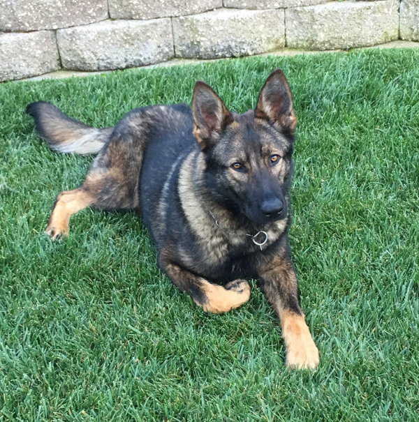 THE GILROY POLICE DEPARTMENT HAS A NEW POLICE DOG
